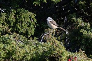 Brun törnskata är en sällsynt gäst på Landsort. Foto: Joakim Ekman