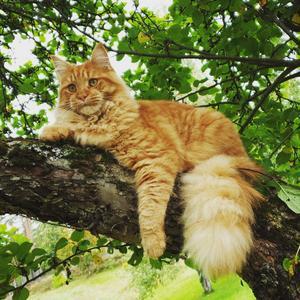 398) Våran fina katt Nemo, en blandning av norsk skogskatt och maine coon. Foto: Jenny Rönnlund