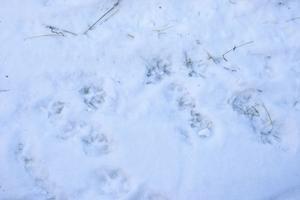 Massor av spår, säkrade av naturbevakare Mats Hallin från Länsstyrelsen Dalarna.