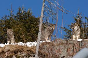 Det är är vargar som finns på Rovdjurscentrum i Grönklitt, Orsa.