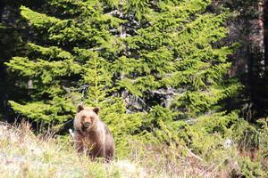 En av alla björnar Bert Ivan har mött. Foto: Bert Ivan Mattsson.