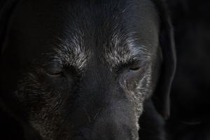 Labrador retrievern Mary är 12 år.