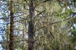Törskatesvampen stryper trädet ovanför den mörka, kådindränkta barken vilket gör att toppen torkar ut och dör.