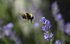 Satsningen ska gynna insekter som humlor och bin. Foto: TT