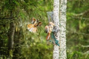Lavskrikan i Hälsinglands skogar genererar mycket känslor.