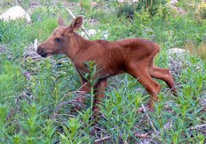 Röd och fin, och ännu riktigt liten. Om några månader har kalven ökat sin vikt mångdubbelt.