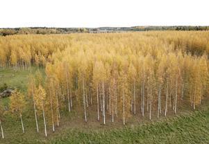 Höstglöd i träden i en björkskog i Uppland Foto: Fredrik Sandberg / TT /