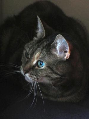 Den ljuvliga katten Friend är på alerten...Den här katten är mycketsällskaplig och puttar till den hon ha vill ha kontakt med, antingen med tasseneller huvudet. Hon söker också kontakt med blicken hela tiden, vilketär lite ovanligare för just katter...