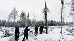 Några av de fältbiologer som tältar i Ore Skogsrike under en rundvandring på nya hyggen. FOTO: FÄLTBIOLOGERNA