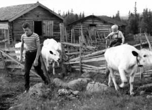 1961 skrev ÖP om de bröderna Ragnar och Per-Göran Nääs, 16 respektive 14 år gamla. När deras föräldrar hade blivit sjuka tog pojkarna på sig att dra till fäboden med familjens kor, Droppa, Lilja, Snövit, Jula och Tindra. Ragnar och Per-Göran hade båda tidigare följt med familjen till fäbodvallen på somrarna så kunde redan det mesta av vad som krävdes av fäbodlivet – göra ost, koka messmör, kärna smör, mjöla och så vidare.
