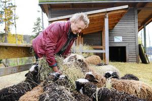 Hans Bark med de omtalade fåren, bilden är från oktober 2017. Nu har stämningsansökan kommit, brott mot djurskyddslagen.