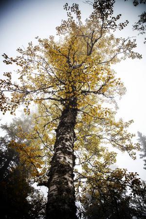I det här skogsområdet finns granar i olika form och storlek, lövträd och mossor, lavar och fåglar trivs tillsammans.