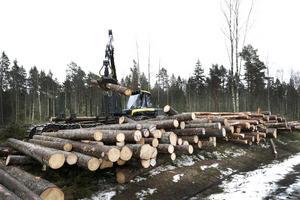 Skogsmaskiner och motorsågar går varma i Rådmansöskogarna.