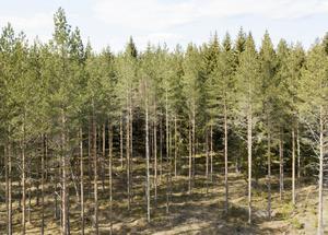 Tallar i en skog i norra Uppland. Foto: Fredrik Sandberg / TT.