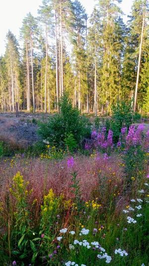 Svensk blomsterprakt vid en dikeskant mellan Sandviken och Järbo Foto: carina