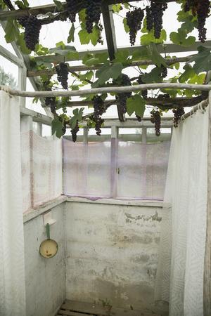 Vinddruvorna hänger i tunga klasar över den provisoriska sommarduschen, som användes när familjen rustade badrummet.
