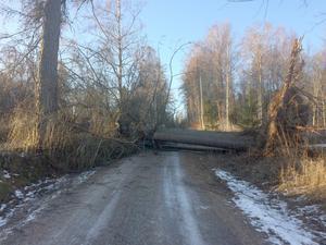 Lärkträdet blåste ned tvärs över grusvägen i Stadra och rakt på Arvids bil. Bild: Privat