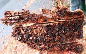 Under en flik av barken på en utsatt gran syns det tydligt hur granbarkborren tar sig fram och äter sig mätt på det näringsrika skiktet invid trädstammen.