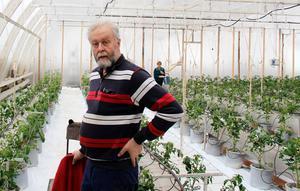Uno Hörnström bland rader av  tomatplantor.