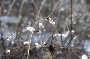 Snöbär är en buske som tål att klippas ned helt.