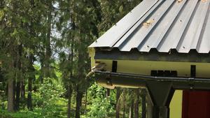Grå flugsnappare har hittat sitt bo på Solgläntan i Vallsta.