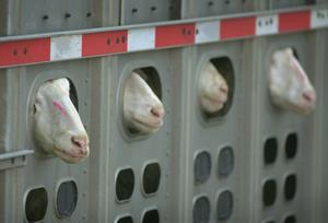 Djurtransport med får. Foto: Charlie Neibergall/AP Photo