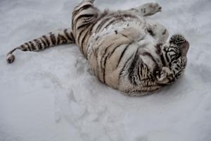 Den bengaliska tigern Ziri passar på att rulla sig i snön innan det är dags för matning.