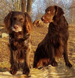 Lyckades få denna lite småroliga bild på mina båda hundar Posse & Tippen då Posse lipar åt Tippen. Vi tog en tidig söndagspromenad i härligt väder. Ja det va så härligt så vi fick nästan vårkänslor.                                                    Foto: Britt-Marie Hansson