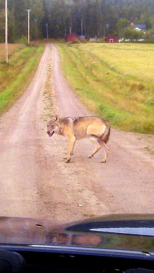 Den här vargen sågs vid 8.30-tiden på morgonen för drygt två veckor sedan i Ulvsta, bara några kilometer från familjen Plyms hus där en oskygg varg i onsdags tog familjehunden Stella. Polisen tror att det rör sig om samma varg som rör sig mellan Ulvsta, Åbyggeby, Åkrarna och Mo och polisen har nu beslutat att vargen ska avlivas.