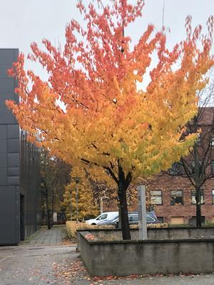 Detta underbara träd med höstens alla färger hittade i Kopparlunden fångade Eva Larsson på bild.
