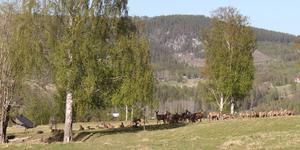 Bild på hjortarna i hägnet, tagen för några dagar sedan. Enligt ägaren Sara-Britta Edlund gömmer sig kalvarna i skogen, så det är mest vuxna djur på bilden. Läsarbild: Sara-Britta Edlund