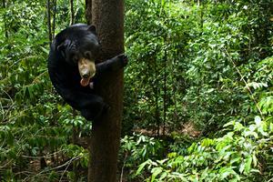 Solbjörnen är en skicklig klättrare. Foto: Jens Söderlund