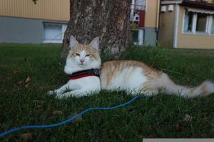 George som denna herre heter är en riktig Ferdinand. Älskar att ligga ute under sin korkek men i detta fall ett äppelträd. Bild: Jaana Jansson