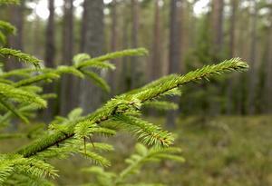 Nedsågad gran i Kårarvsgruvans naturreservat i Falun är misstänkt miljöbrott.
