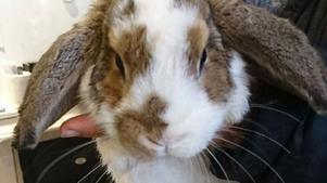 Foto: StrömsbackaDen här stackars kaninen låg i en banankartong och dumpades vid Strömsbacka under onsdagen?