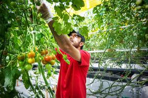 Totalt skördas nu 85 ton tomater årligen jämfört med 200 ton förut. Foto: Agtira.