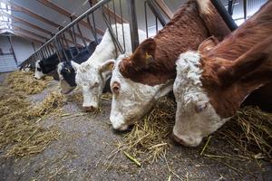 För mig personligen och för Centerpartiet har frågan kring djurs uppfödningsvillkor och skärpta krav på att ge antibiotika till friska djur länge varit en hjärtefråga, skriver Wendla Thorstensson.