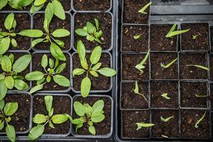 Om du vill få dina frösådder att trivas ute i trädgården gäller det att ta hand om jorden och berika den med näring, då tar den i sin tur hand om växterna man odlar.Arkivfoto: Edis Potori