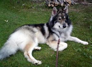Den stora och vargliknande hunden Billy är försunnen i Malung sedan två veckor. Foto:Privat