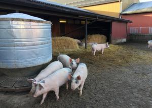 Skolan följer noga klimatdebatten och affärsmöjligheterna för framtidens bönder, så framöver kan grisarna på Stiernhöök få sällskap av larv- och insektsodlingar.
