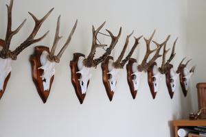Väggarna hemma i lägenhet pryds av jakttroféer.