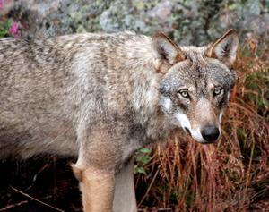 Många rovdjur behöver leta nya revir, vilket kan leda till konfrontationer.