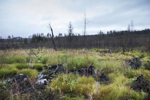 I områden som är fuktiga har markvegetationen kommit åter med kraft.
