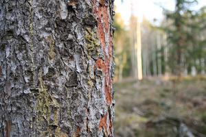 Flertalet skadade och angripna granar finns i skogen.