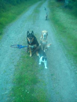 Så här kan det se ut på våra skogspromenader. Hundarna Tess och Foxie med kompisarna i släptåg, katterna Pysen, Molle och Smulan.