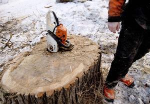 De gamla träden är en säkerhetsrisk och flera av popplarna är genomruttna. Här kan sågbladet köras rätt ner i stubben från det precis kapade trädet.