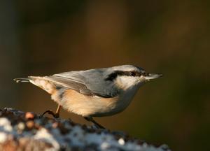 Nötväcka: (Si´tta europaea [-pε:´a]) Art i fågelfamiljen nötväckor. Den är cirka 14 centimeter lång. Ovansidan är gråblå och undersidan vit och rödbrun. På huvudets sidor löper ett svart streck från näbb till nacke. Nötväcka livnär sig sommartid mest på smådjur i bark, vintertid mest av frön.