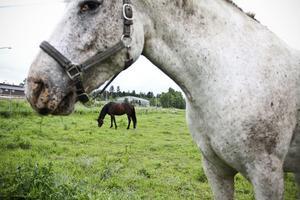 Snart är det nya ridhuset färdigt. Men hästarna är mest intresserade av det saftiga gräset.