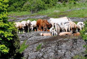 Dom duktiga naturvårdarna på Ängsö har tagit en  siesta och lapar sol på en berghäll.