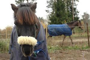 NYFIKEN. Pepsi verkar fundera på vad fotografen håller på med. I bakgrunden skrider Kompis fram. På höstlovet får hästarna besök av ridsugna barn och ungdomar.